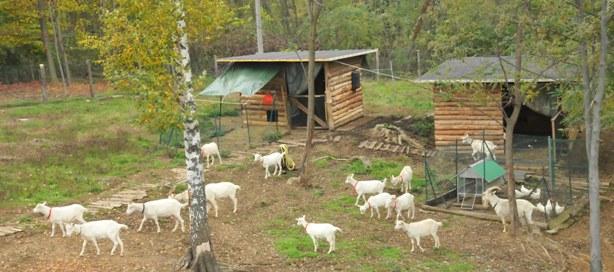 Le capre e altri bianchi for Recinto elettrico per capre